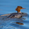 Laksand / Common Merganser <br /> Linnesstranda, Lier  4.4.2015<br /> Canon 7D Mark II + Tamron 150 - 600 mm 5,0 - 6,3