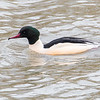 Laksand / Common Merganser <br /> Linnesstranda, Lier  28.2.2015<br /> Canon 7D Mark II + Tamron 150 - 600 mm 5,0 - 6,3