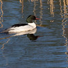 Laksand / Common Merganser <br /> Linnesstranda, Lier  4.5.2017<br /> Canon 7D Mark II + Tamron 150 - 600 mm 5,0 - 6,3 G2