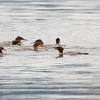 Laksand / Common Merganser <br /> Linnesstranda, Lier  12.9.2015<br /> Canon 7D Mark II + Tamron 150 - 600 mm 5,0 - 6,3