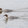 Laksand / Common Merganser <br /> Linnesstranda, Lier  3.5.2015<br /> Canon 7D Mark II + Tamron 150 - 600 mm 5,0 - 6,3