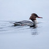 Laksand / Common Merganser <br /> Bragernes Strand, Drammen  27.1.2018<br /> Canon 5D Mark IV + EF 500 mm f/4L IS II + 1.4 Ext