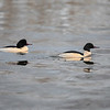 Laksand / Common Merganser <br /> Linnesstranda, Lier  8.12.2018<br /> Canon 5D Mark IV + EF 500 mm f/4L IS II
