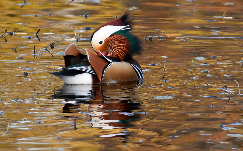 Mandarinand / Mandarin Duck <br /> Mellomdammen, Sætre. 11.10.2008<br /> Canon EOS 20D + 400 mm 5,6 L