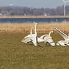 Sangsvane / Whooper Swan<br /> Hals, Danmark<br /> Canon EOS 7D + EF 100-400 mm 4,5-5,6 L