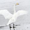 Sangsvane / Whooper Swan<br /> Vestfossen, Øvre Eiker 2.3.2013<br /> Canon EOS 7D + EF 100-400 mm 4,5-5,6 L