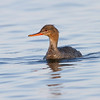 Siland / Red-breasted Merganser – <br /> Hammarön, Sverige 23.7.2014<br /> Canon EOS 7D + Tamron 150 - 600 mm 5,0 - 6,3