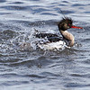 Siland / Red-breasted Merganser<br /> Linnesstranda, Lier 10.6.2013<br /> Canon EOS 7D + EF100-400 mm 4,5-5,6 L