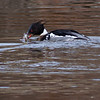 Siland / Red-breasted Merganser <br /> Linnesstranda, Lier 3.5.2010<br /> Canon EOS 50D + EF400 mm 5.6 L