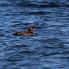 Sjøorre / White-winged Scoter <br /> Mølen, Vestfold 18.5.2018<br /> Canon 7D Mark II + EF 500mm f/4L IS II USM + 1.4x Ext