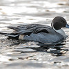 Stjertand / Northern Pintail<br /> Fjordparken, Drammen 13.1.2019<br /> Canon 5D Mark IV + Canon EF 500mm f/4L IS II USM + 1.4x Ext III