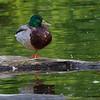 Stokkand / Mallard<br /> Linnesstranda, Lier 9.6.2012<br /> Canon EOS 7D + EF 100-400 mm 4,5-5,6 L