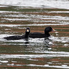 Svartand / Common Scoter<br /> Straumen, Nord-Trøndelag 7.7.2015<br /> Canon 7D Mark II + Tamron 150 - 600 mm 5,0 - 6,3