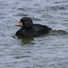Svartand / Common Scoter<br /> Hou havn, Danmark 13.4.2014<br /> Canon EOS 7D + EF 100-400 mm 4,5-5,6 L