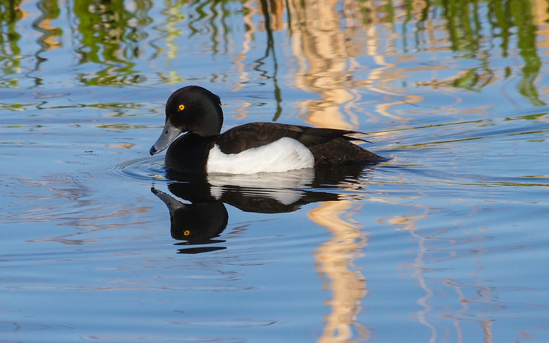 Toppand / Tufted Duck<br /> Østensjøvannet, Oslo 20.5.2013<br /> Canon EOS 7D + EF 100-400 mm 4,5-5,6 L