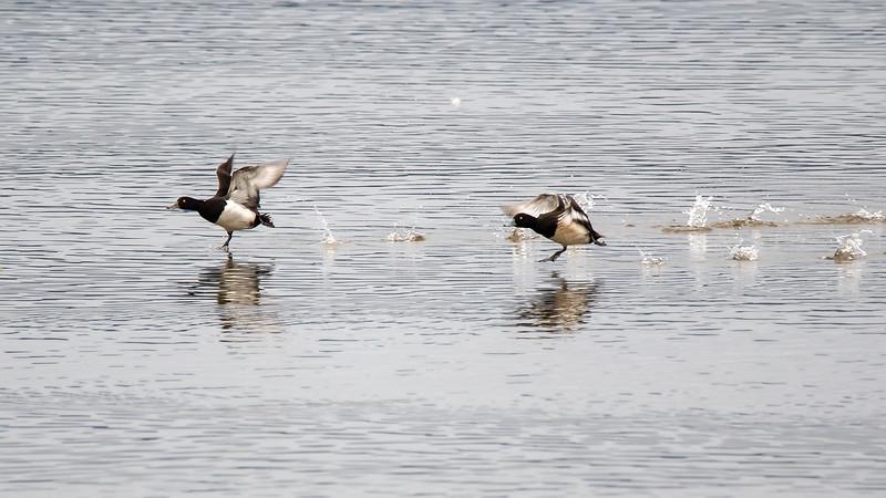 Toppand / Tufted Duck <br /> Linnesstranda, Lier 12.5.2018<br /> Canon 7D Mark II + Tamron 150 - 600 mm G2