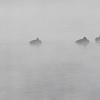Toppand / Tufted Duck<br /> Elveparken, Drammen 12.11.2016<br /> Canon 7D Mark II + Tamron 150 - 600 mm G2
