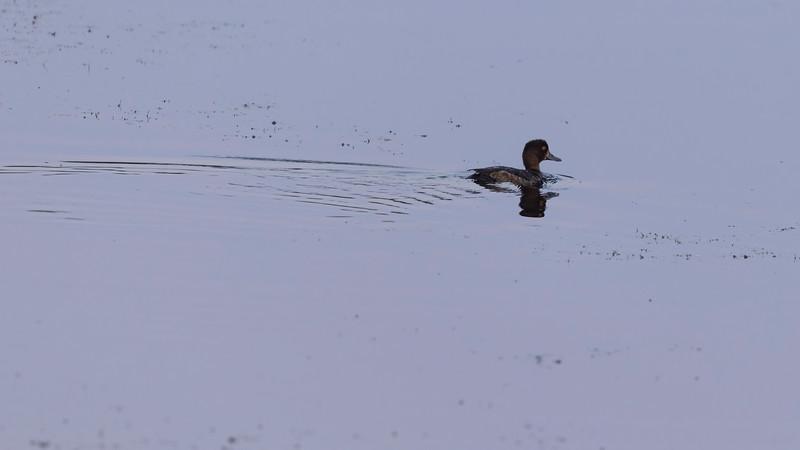 Toppand / Tufted Duck<br /> Rosenkällsjön, Sverige 21.7.2021<br /> Canon EOS R5 + EF 500mm f/4L IS II USM + 1.4x Ext
