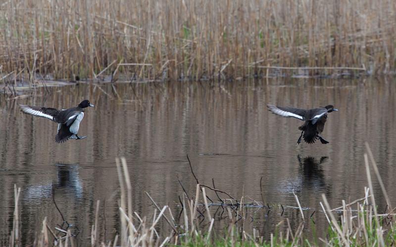 Toppand / Tufted Duck<br /> Bryne, Jæren 11.5.2013<br /> Canon EOS 5D Mark II + EF 100-400 mm 4,5-5,6 L