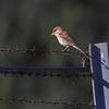 Tornskate / Red-backed Shrike<br /> Linnesstranda, Lier 10.8.2014<br /> Canon EOS 7D + Tamron 150 - 600 mm 5,0 - 6,3