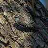Trekryper / Tree Creeper<br /> Linnesstranda, Lier 17.3.2013<br /> Canon EOS 7D + EF 100-400 4,5-5,6 L