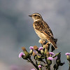 Buskskvett / Whinchat<br /> Gullaug, Lierl 9.7.2017<br /> Canon 7D Mark II + Tamron 150 - 600 mm 5,0 - 6,3 G2
