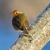 Rødstrupe / European Robin<br /> Linnesstranda, Lier 12.1.2013<br /> Canon EOS 7D + EF 100-400 mm 4,5-5,6 L