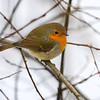 Rødstrupe / European Robin<br /> Linnesstranda, Lier 20.1.2013<br /> Canon EOS 7D + EF 100-400 mm 4,5-5,6 L