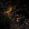 Rødstrupe / European Robin <br /> Linnesstranda, Lier 15.11.2011<br /> Canon EOS 7D + EF 400 mm 5,6 L