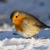Rødstrupe / European Robin<br /> Linnesstranda, Lier 9.2.2013<br /> Canon EOS 7D + EF 100-400 mm 4,5-5,6 L