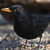 Svarttrost / Eurasian Blackbird<br /> Linnesstranda, Lier 23.3.2013<br /> Canon EOS 7D + EF 100-400 mm 4,5-5,6 L