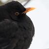 Svarttrost / Eurasian Blackbird<br /> Linnesstranda, Lier 12.11.2016<br /> Canon 7D Mark II + Tamron 150 - 600 mm 5,0 - 6,3 G2