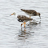 Brushane / Ruff <br /> Ulvedybet, Danmark 14.7.2014<br /> Canon EOS 7D + Tamron 100 - 600 mm 5,0 - 6,3