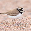Dverglo / Little Ringed Plover<br /> Linnesstranda, Lier 8.6.2019<br /> Canon 5D Mark IV + EF 500mm f/4L IS II USM