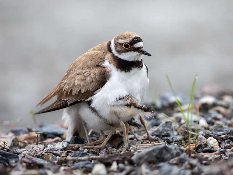 Dverglo / Little Ringed Plover<br /> Sundland, Drammen 16.6.2019<br /> Canon 5D Mark IV + EF 500mm f/4L IS II USM + 1.4x Ext