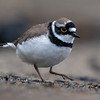 Dverglo / Little Ringed Plover<br /> Linnesstranda, Lier 14.5.2017<br /> Canon 7D Mark II + Tamron 150 - 600 mm 5,0 - 6,3 G2