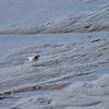 Dverglo / Little Ringed Plover <br /> Linnesstranda, Lier 29.4.2012<br /> Canon EOS 7D + EF 400 mm 5.6. L