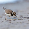 Dverglo / Little Ringed Plover<br /> Linnesstranda, Lier 16.6.2018<br /> Canon 5D Mark IV + EF 500mm f/4L IS II USM + 1.4x Ext