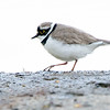 Dverglo / Little Ringed Plover<br /> Linnesstranda, Lier 13.5.2017<br /> Canon 7D Mark II + Tamron 150 - 600 mm 5,0 - 6,3 G2