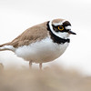Dverglo / Little Ringed Plover<br /> Linnesstranda, Lier 12.5.2018<br /> Canon 7D Mark II + Tamron 150 - 600 mm 5,0 - 6,3 G2