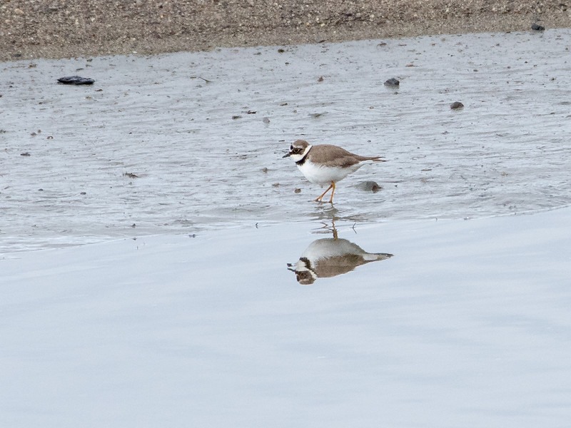 Dverglo / Little Ringed Plover<br /> Linnesstranda, Lier 16.4.2016<br /> Canon 7D Mark II + Tamron 150 - 600 mm 5,0 - 6,3