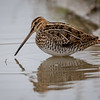 Enkeltbekkasin / Common Snipe<br /> Huseby, Lier 29.9.2018<br /> Canon 5D Mark IV + EF 500mm f/4L IS II USM + 1.4x Ext
