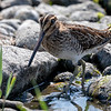 Enkeltbekkasin / Common Snipe<br /> Getterön, Sverige 25.7.2018<br /> Canon 5D Mark IV + F 500mm f/4L IS II USM + 2x Ext