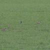 Heilo / Eurasian Golden-Plover <br /> Linnesstranda, Lier 16.5.2005<br /> Canon EOS 20D + EF 200 mm 2,8 L + Extender 1,4 x