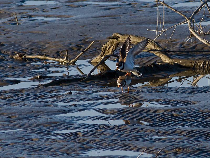 Sandlo / Ringed Plover <br /> Linnesstranda, Lier 29.4.2012<br /> Canon EOS 7D + EF 400 mm 5,6 L