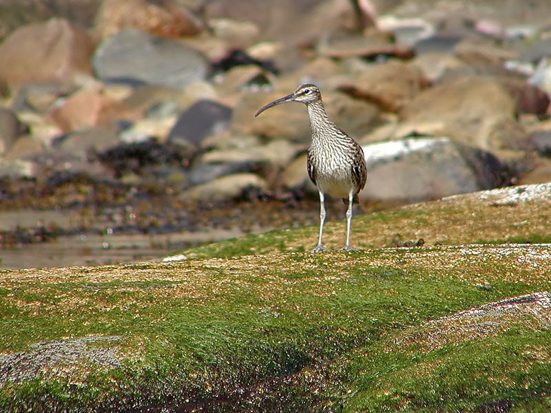 Småspove /Whimbrel <br /> Oslofjorden, Hurum 16.5.2004<br /> Olympus C2500UZ