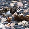 Steinvender / Turnstone<br /> Fuerteventura, Kanariøyene 31.12.2012<br /> Canon EOS 7D + EF 100-400 mm 4,5-5,6 L