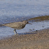 Strandsnipe / Common Sandpiper <br /> Linnesstranda, Lier 13.5.2006<br /> Canon EOS 20D + EF 400 mm 5,6 L