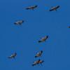 Trane / Common Crane<br /> Hornborgasjön, Sverige 4.4.2012<br /> Canon EOS 7D + EF 400 mm 5,6 L