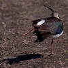 Vipe / Northern Lapwing <br /> Linnesstranda, Lier 25.4.2009<br /> Canon EOS 50D + EF 400 mm 5.6 L